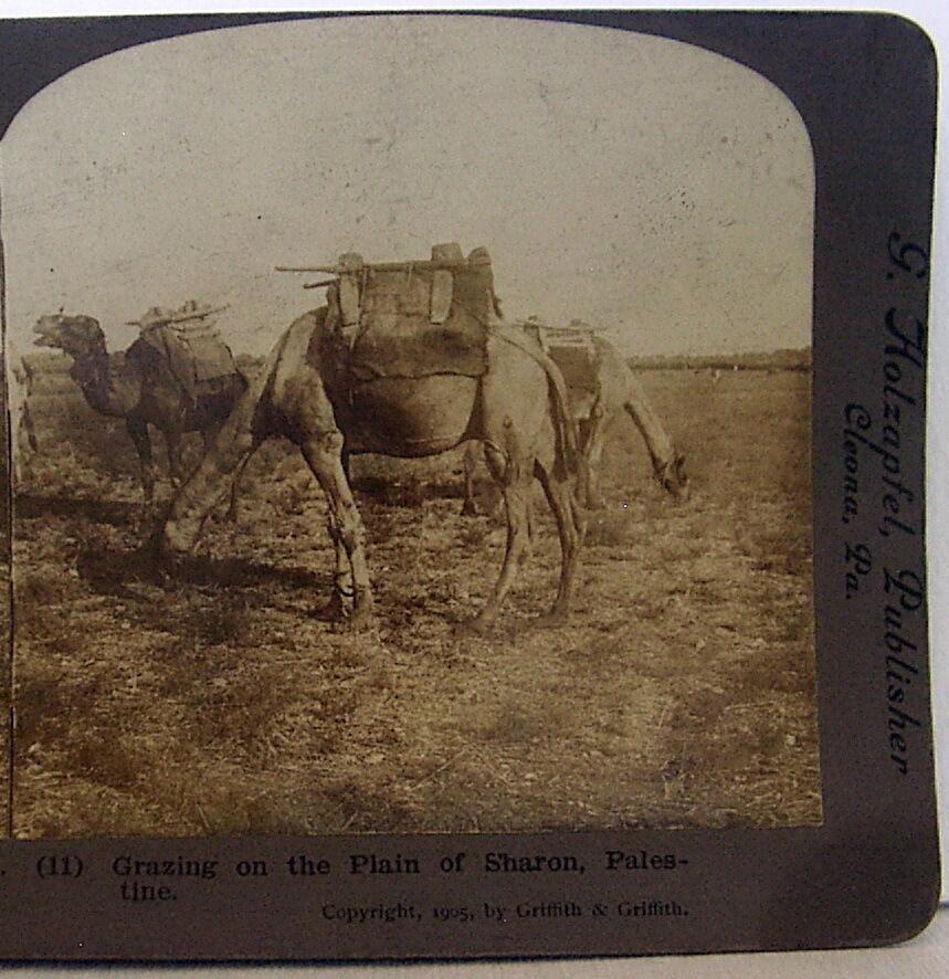 Grazing on the Plain of Sharon Palestine copyright 1905 stereoview