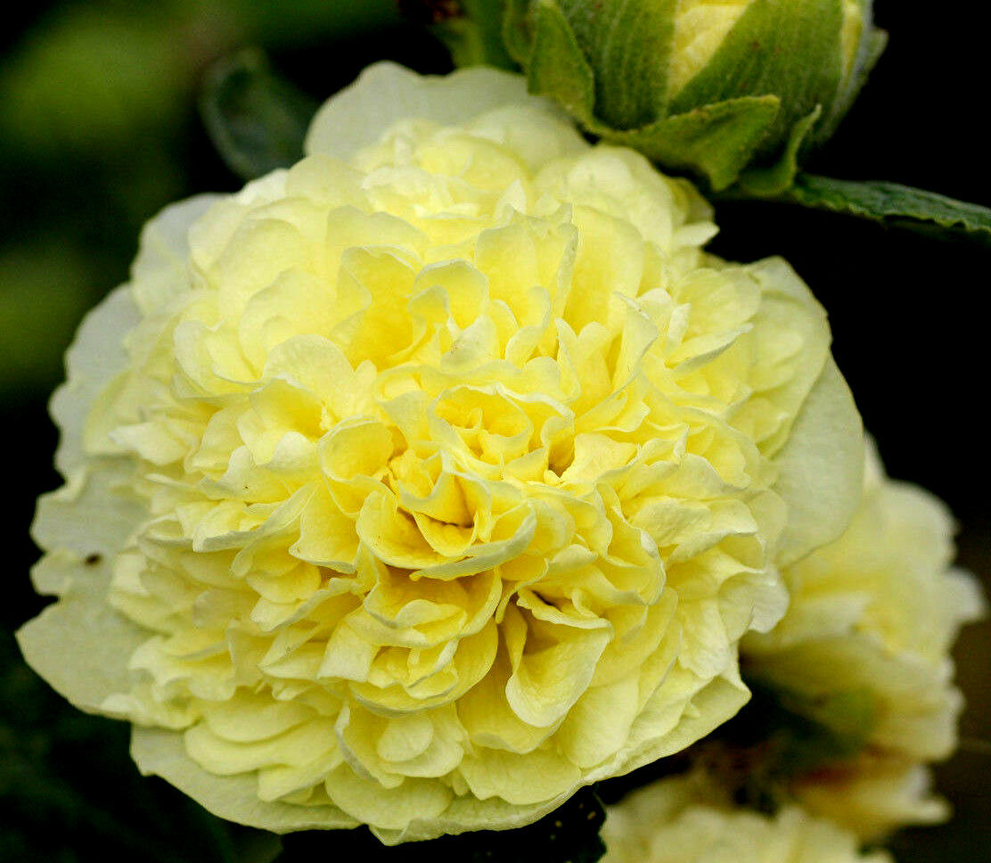 900 graines de rose tr mi re fleurs doubles chater jaune - Graine rose tremiere ...