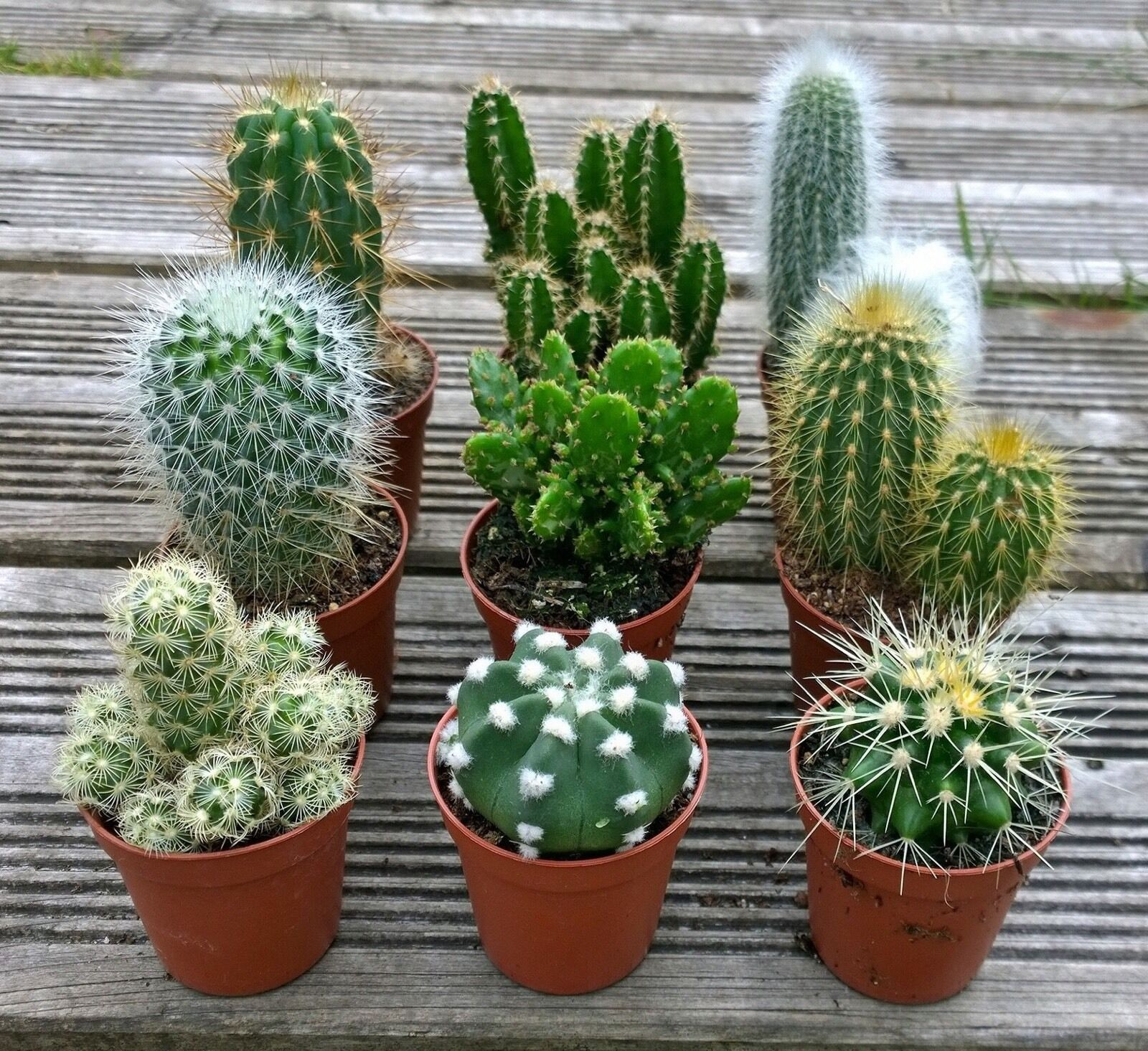 Set of 3 mixed cactus cacti plants in pots Cactus pots for sale