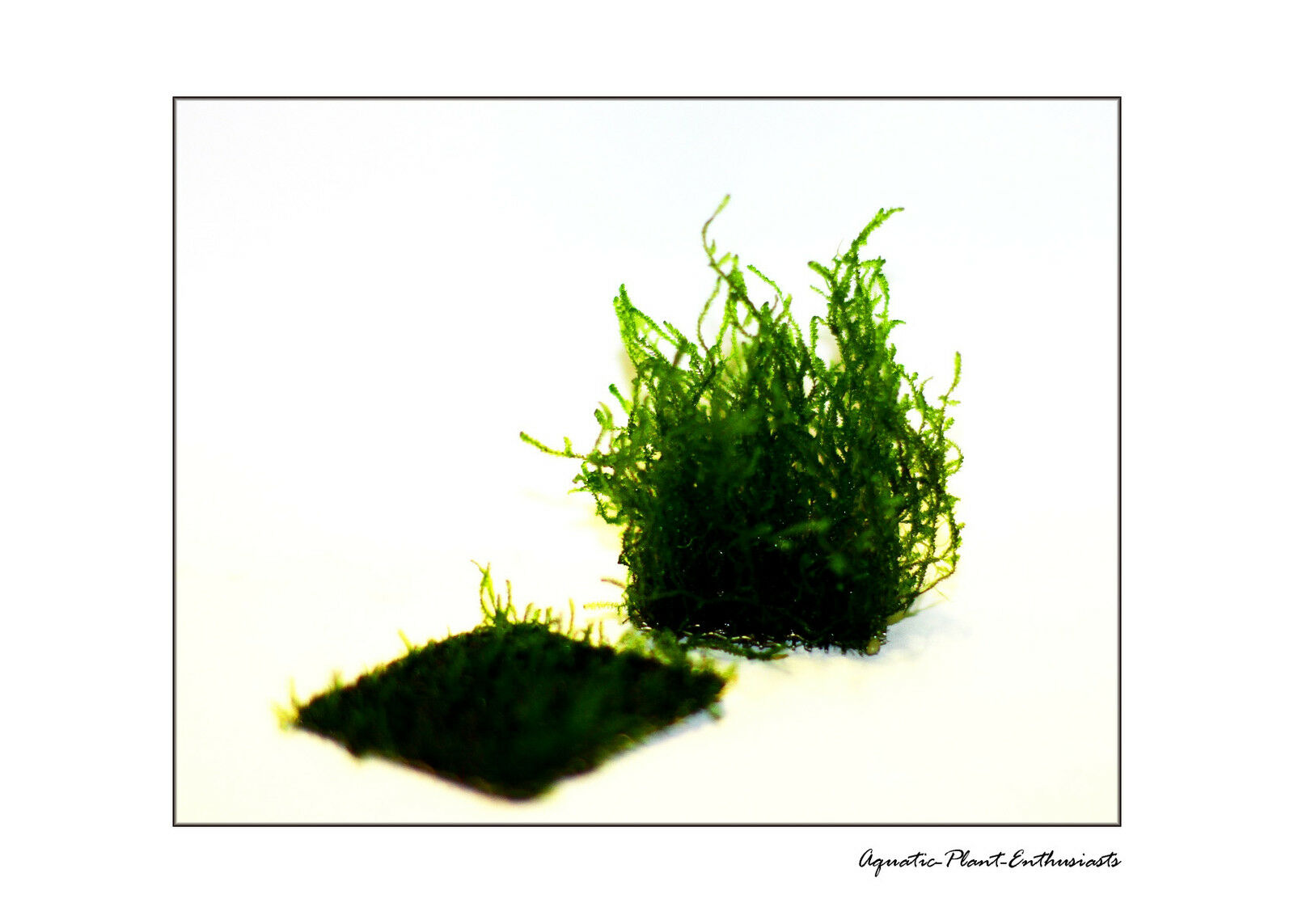 Flame Moss On Wire Mesh EASY AQUARIUM PLANT / Taxiphyllum Sp / Rare
