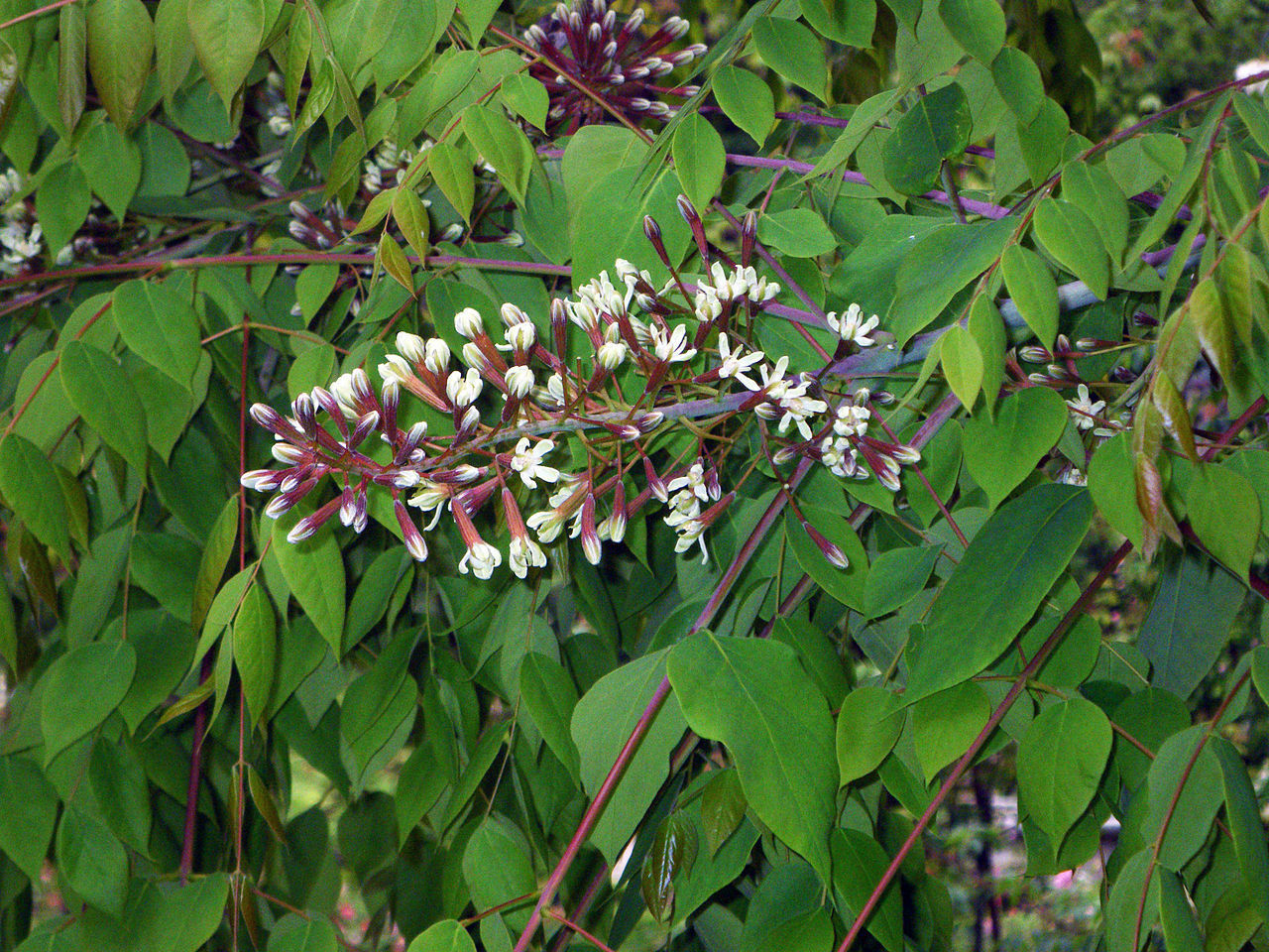 KENTUCKY COFFEE TREE, Gymnocladus dioicus, Seeds (Fast, Fall Color ...