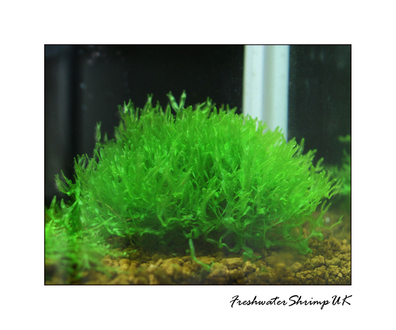 Plante Vivante Pelia Aquarium / Portion Bonne Haute Qualité Monosolenium Tenerum