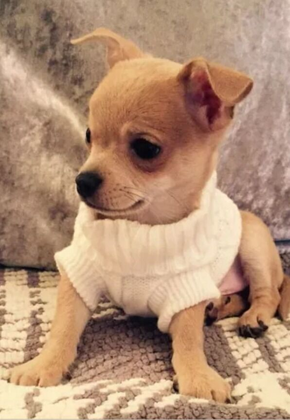 Knitting Pattern Chihuahua Jumper : Chihuahua Size (XSmall 6) White Knitted Jumper Pet Dog Clothes Dog Jumper   ?...