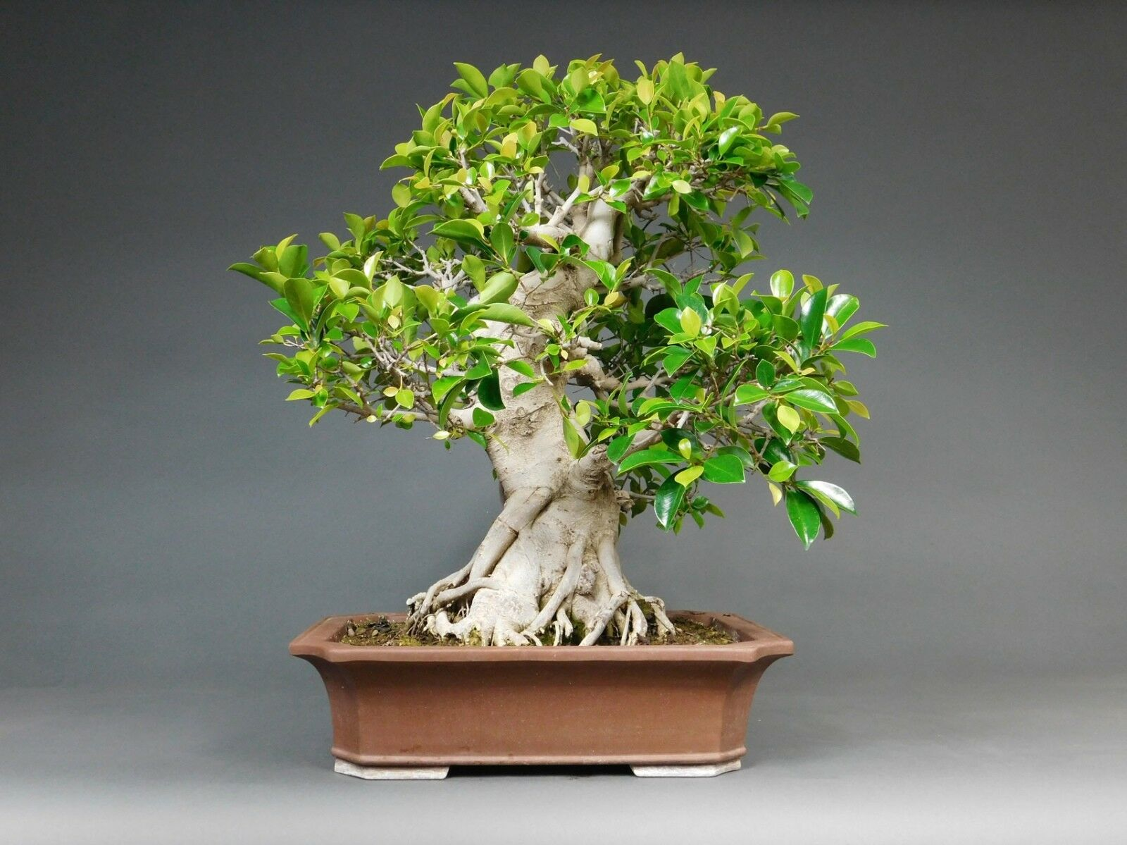 indoor bonsai chin feigenbaum ficus retusa. Black Bedroom Furniture Sets. Home Design Ideas