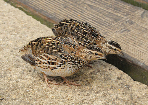 Jumbo coturnix quail - photo#10