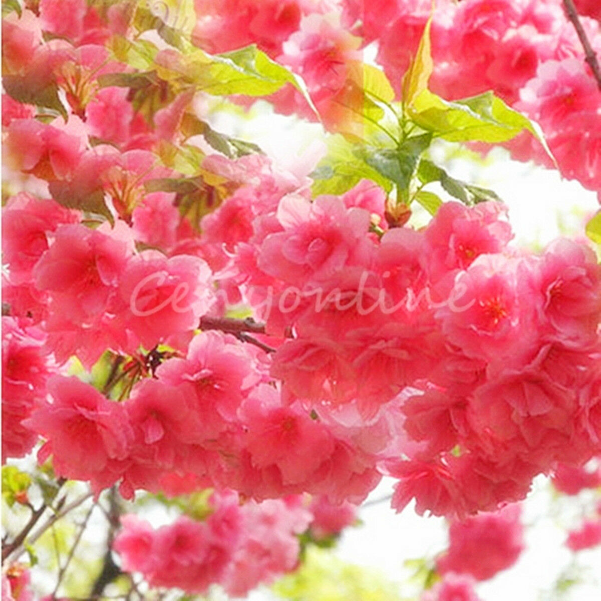 10 Japanese Cherry Tree Pink Cloud Oriental Prunus Serrulata Sakura
