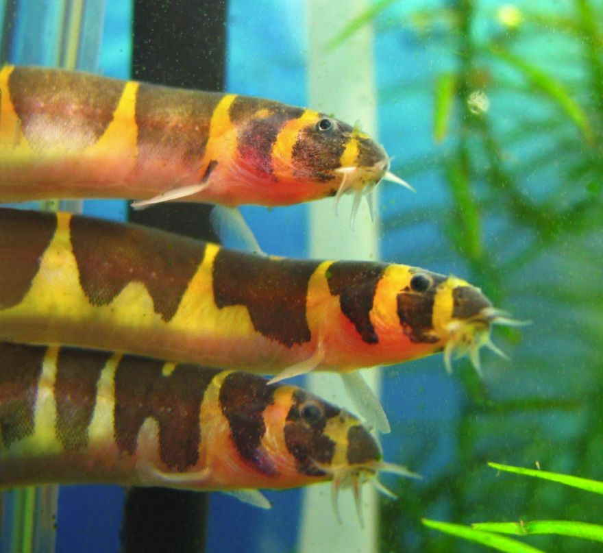 10 kuhli loach live tropical fish picclick uk for Loach fish types