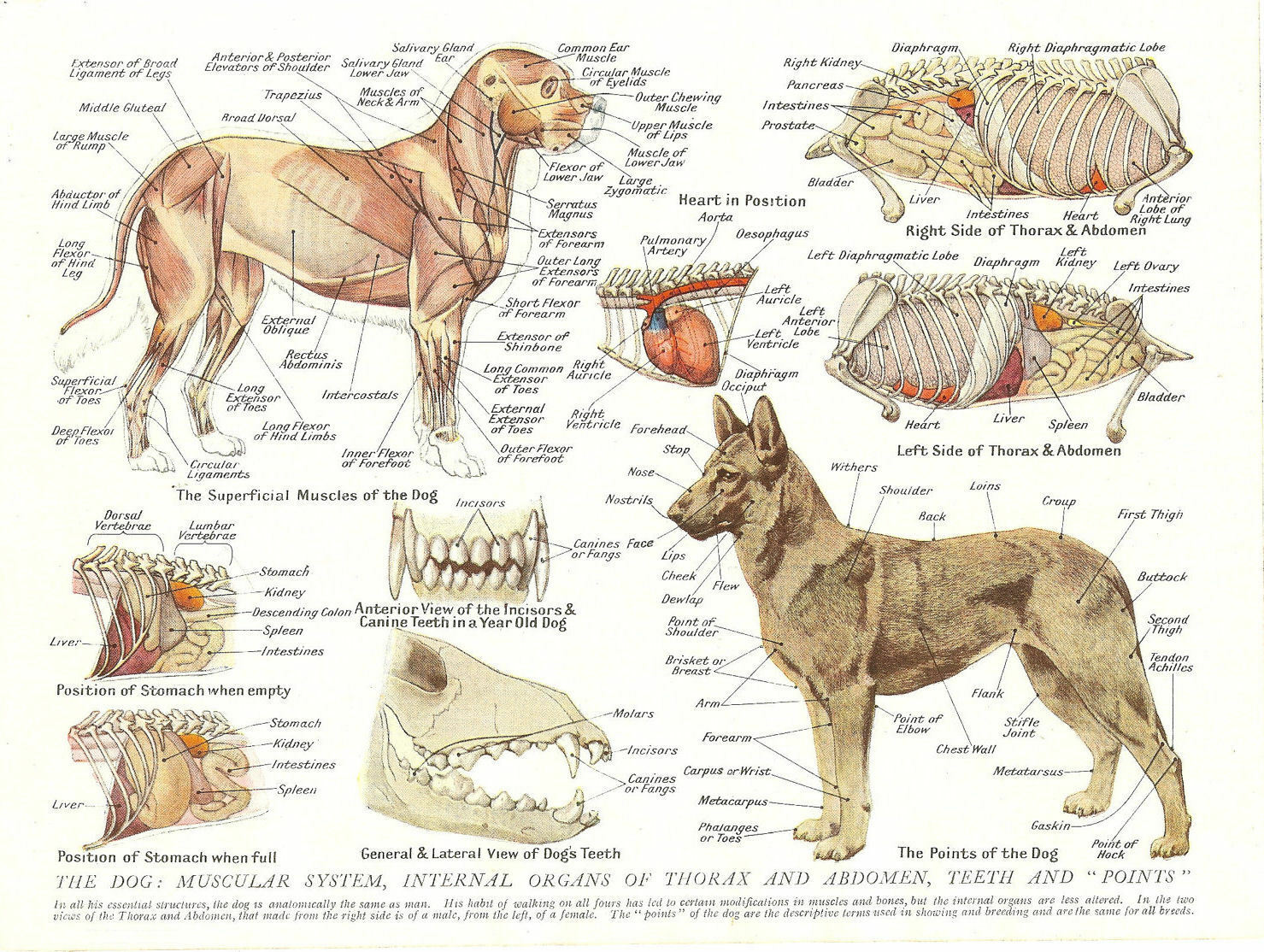 A4 VETERINARY POSTER – Muscles & Organs of the Dog (Animal Anatomy ...