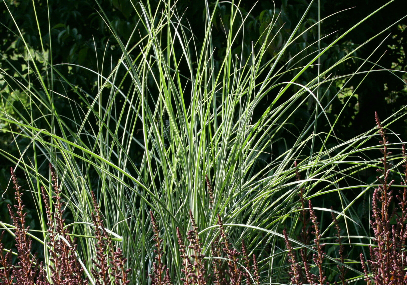 Miscanthus sinensis 39 morning light 39 garden tested hardy for Hardy ornamental grasses