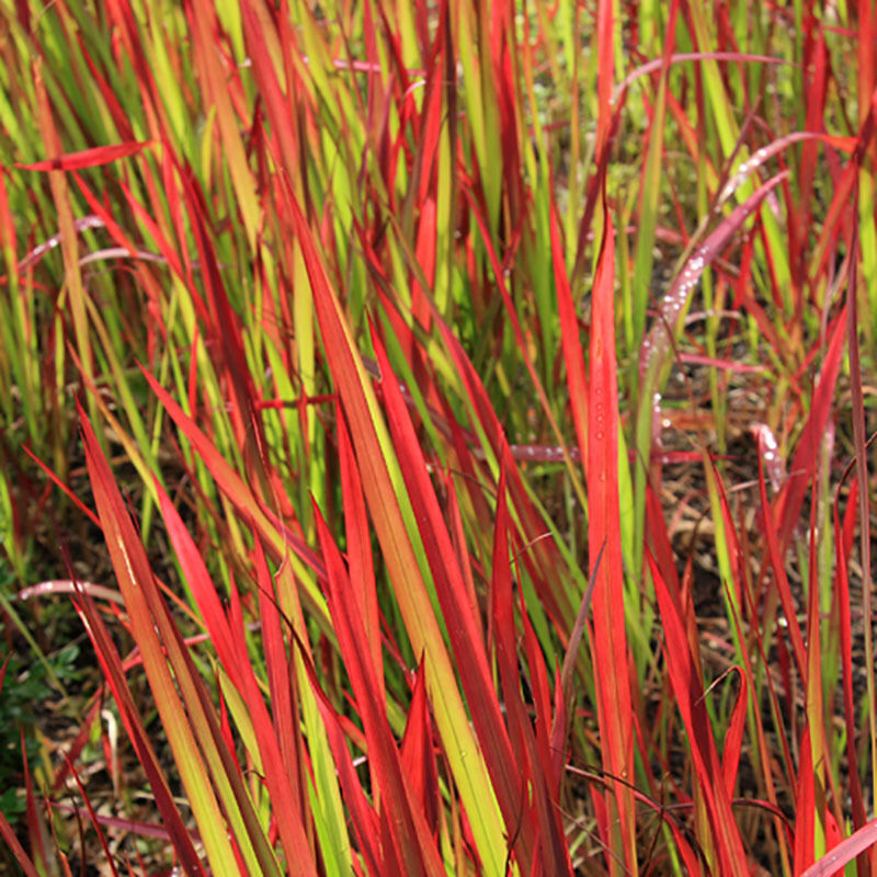 Perennial imperata japanese blood grass 39 red baron 39 pack for Perennial grasses red
