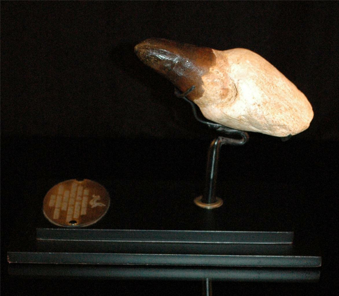 Amazing Mosasaur Fossil Tooth With Root From Morocco On Stand #m5