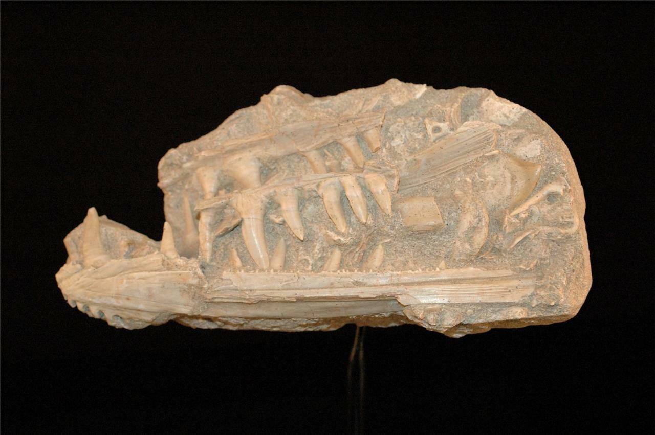 Enchodus Lybicus Fossil Jaw And Bones On Matrix With Stand - Morocco #en4