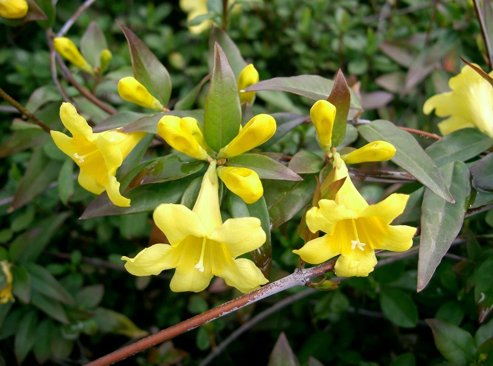 Gelsemium Sempervirens Carolina Jessamine Vine Yellow Flowers Seeds