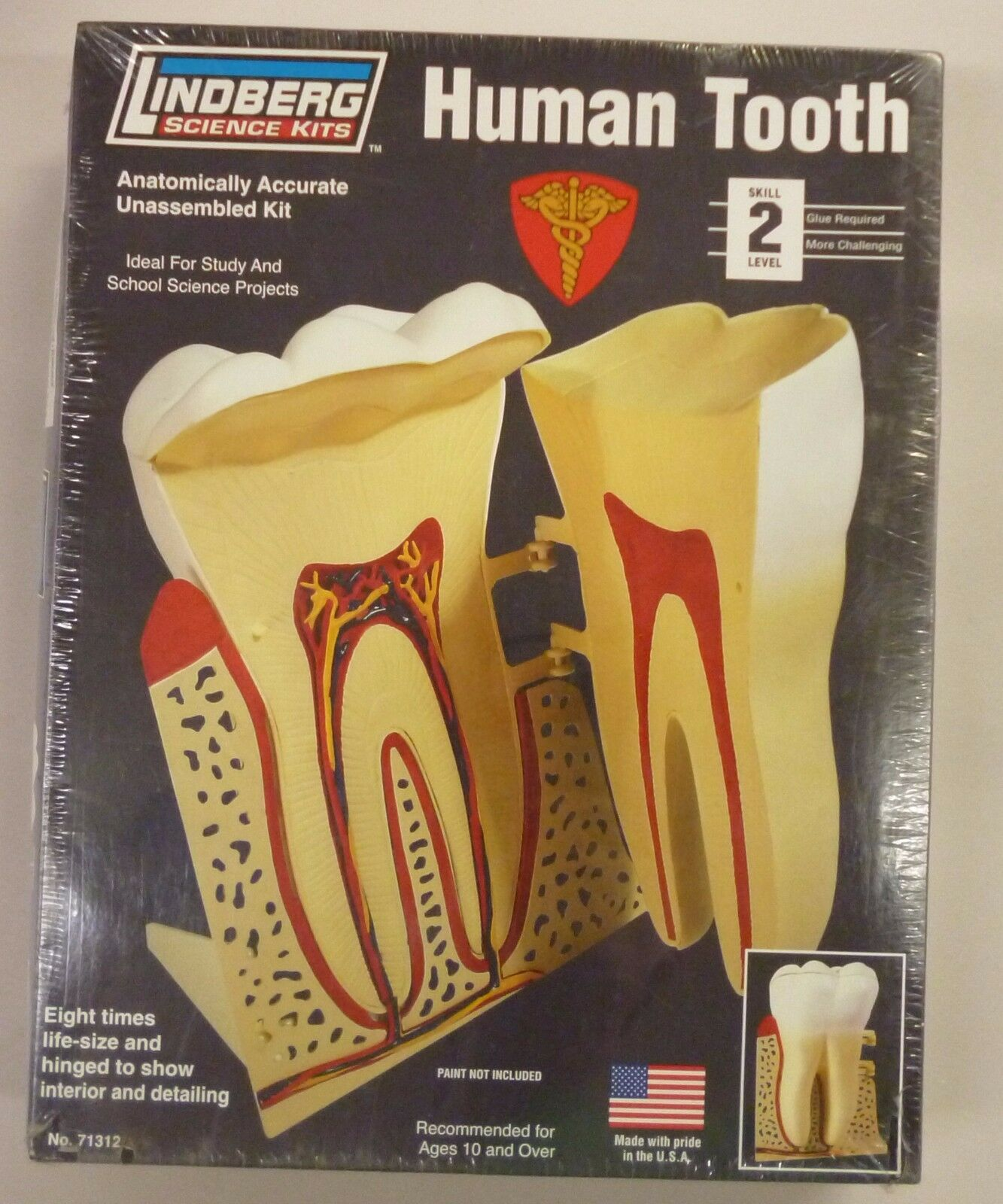 LINDBERG 7.5 INCH Human Tooth Anatomy Science Project Model Kit New ...