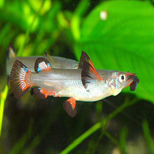 Live tropical aquarium fish for sale celebes half beak for Aquarium fish for sale online