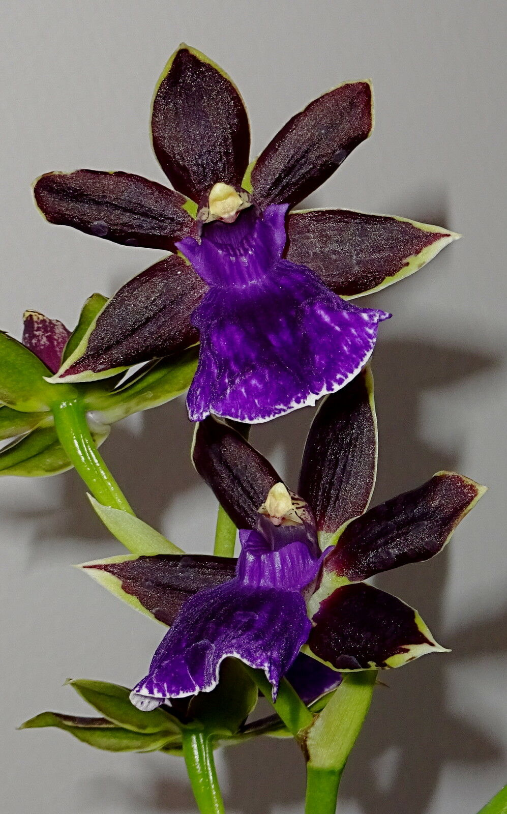 zygopetalum black star hybrid selection duft orchidee. Black Bedroom Furniture Sets. Home Design Ideas