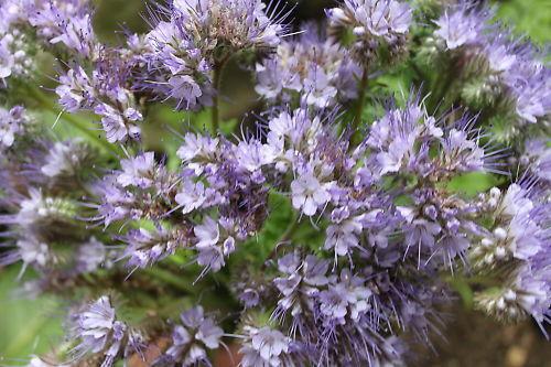 Phacelia / Büschelblume - 400 Samen