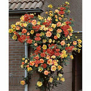 JOSEPHS COAT  - FRAGRANT CLIMBING  ROSE -  LONG FLOWERING BARE ROOTED PLANT