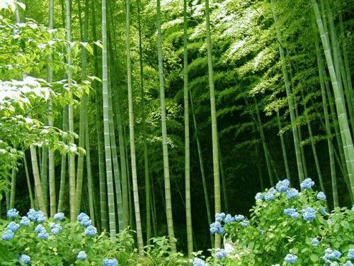 BAMBU GIGANTE  arundinacea bambusa 500 semillas seeds