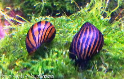 5 x Zebra Nerite Snail Algae Eater cold or Tyropical Water