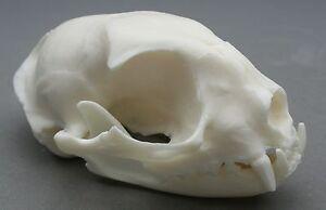 Cat-Animal-Skull-Replica-Taxidermy-Study-Unusual-Halloween-Ornament-Witch-Gothic