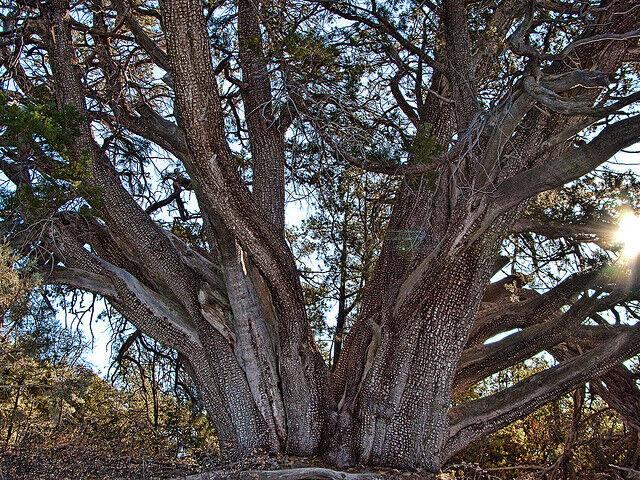 Alligator Juniper, Juniperus deppeana pachyphlaea, Tree Seeds (Hardy Evergreen)