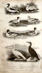 Goldsmiths-Engravings-1816-EIDER-DUCK-GOLDEN-EYE