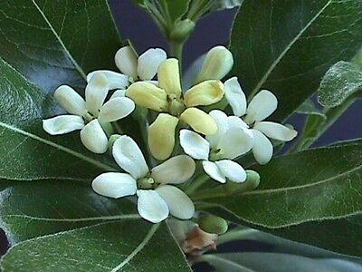 SETOS  BORDURAS pittosporum tobira 100 semillas seeds