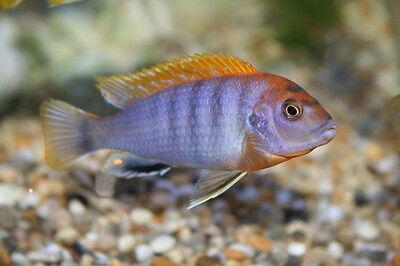 Labidochromis hongi ** sp Hongi ** Cichlid **  Malawi