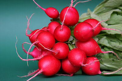 VEGETABLE  RADISH CHERRY BELLE  2000 SEEDS