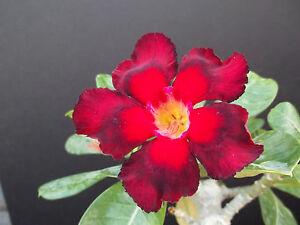 Adenium-obesum-cv-DOUBLE-COLOR-desert-rose-bonsai-cactus-caudex-seed-5-seeds-M
