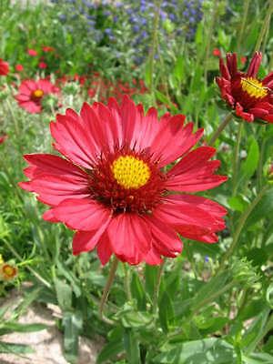 50 BURGUNDY GAILLARDIA Red Indian Blanket Flower Seeds *Comb S/H