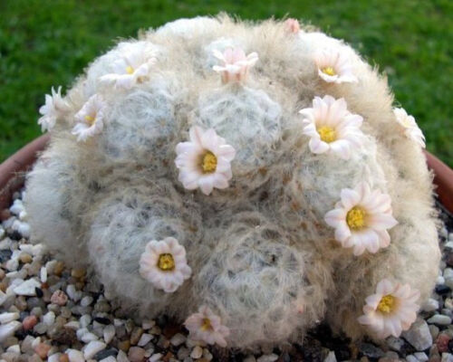 Mammillaria Plumosa rare feather cactus cacti soft exotic seeds seed