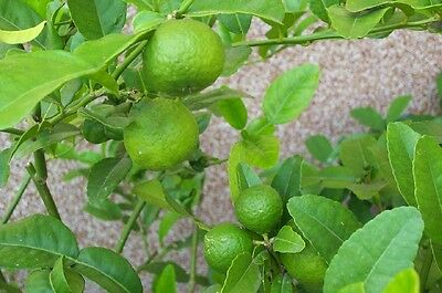 "Zitrone, LIMETTE,MAKRUT,KAFFIR ""Citrus hystrix"" Blätter essbar,.LIMONE, 45 cm"