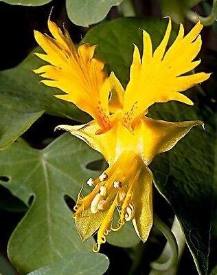 FLOR con forma  DE PAJARO CANARIO  15 semillas seeds