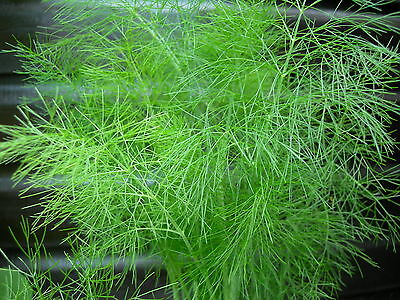 Fenchel * Heil- und Gewürzkraut* - 30 Samen