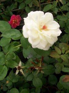 White Garden Rose Bush sugar moon white roses 1 gal. live plant double flower fragrant