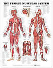 The Female Muscular System Anatomical Chart by Anatomical Chart Co. (Fold-out book or chart, 2001)