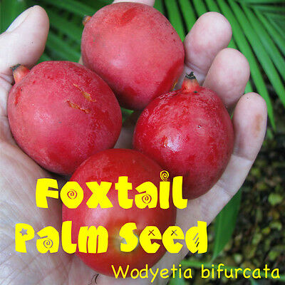 FOXTAIL Palm Tree Wodyetia bifurcata FRESH 15 HUGE SEEDS VIABLE Grown with Aloha