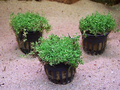 3 Töpfe Hemianthus cuba Zwergperlkraut Wasserpflanzen Aquarienpflanzen