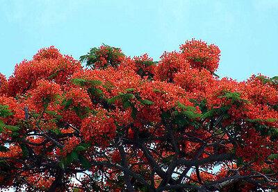 DELONIX REGIA   Royal Poinciana Tree - 10 Seeds