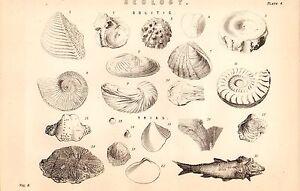 1868 Stampa ~Geologia~ Biologico Remains Fossls ~Oolitic~ Trias