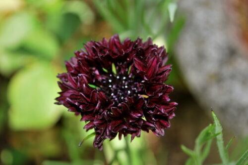 Centaurea Cyanus Bachelor Button 'Black Ball' x100 seeds F0101