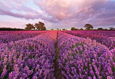 Fototapete Wandeko Provence Design Deko-Tapete Blumen lila Lavendel Feld 1-615