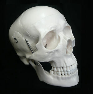 Life-Size-Anatomical-Deluxe-Human-Skull-Model-Medical-Skeleton-Anatomy-Replica