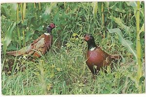 Ring-Necked-PHEASANTS-POSTCARD-Vintage-Used-FREE-SHIP