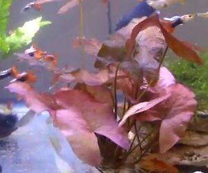 Dwarf-Lily-Bulb-Live-Aquarium-Plant-US-Seller