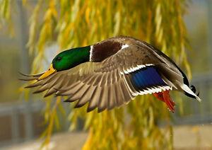 Image Is Loading Mallard Duck In Flight Home Decor Canvas Print