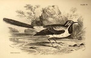 Bechstein-039-s-Caged-Birds-Engraving-1857-GREY-WAGTAIL