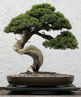 JAPANESE RED PINE- Pinus Densiflora  - 25 Semillas bonsai seeds graines